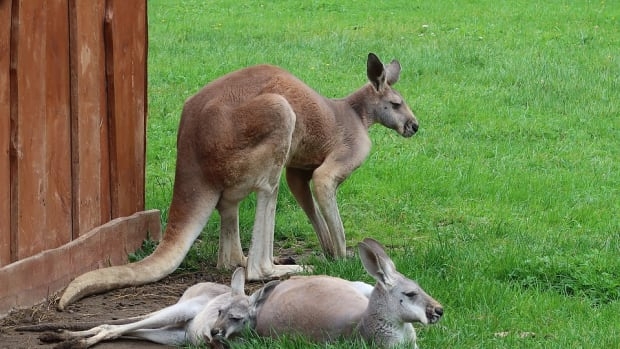 Animal-Zoo-Borysew-Kangaroo-3472263