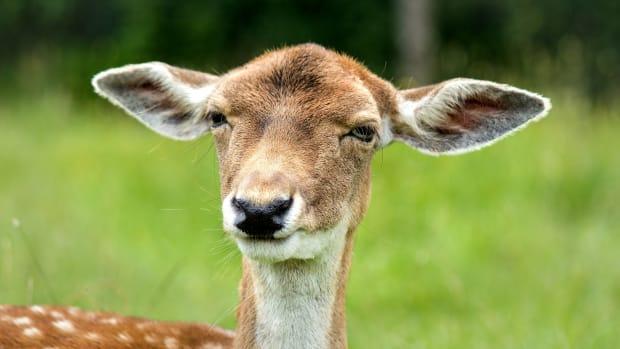 doe, deer