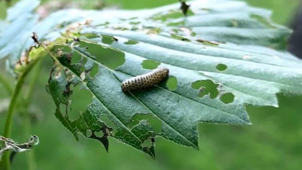 Viburnum beetle