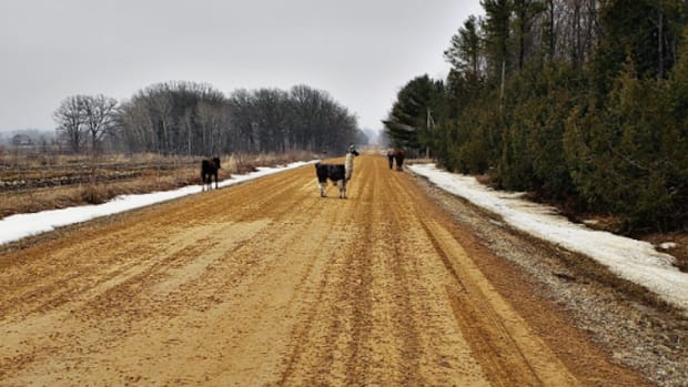 Escaped llama and horses in Chisago Co.