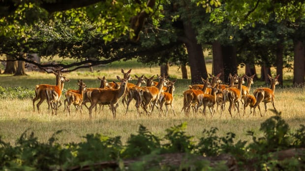Virus spreads among deer herd, inflicting 'quick, suspicious