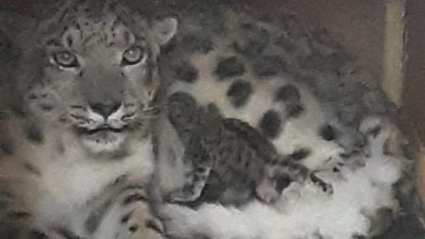 como-zoo-snow-leopard-cub-may-2-2019-RESIZE-CROP