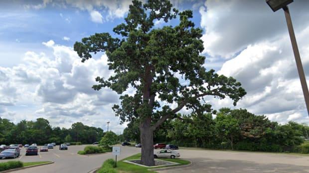 Oak tree at Richfield Lunds & Byerlys
