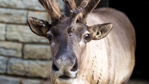 reindeer como zoo