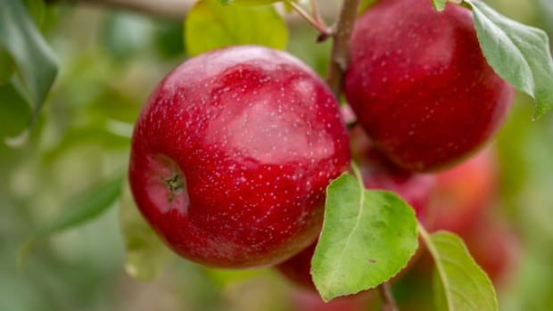 triumph u of m apple