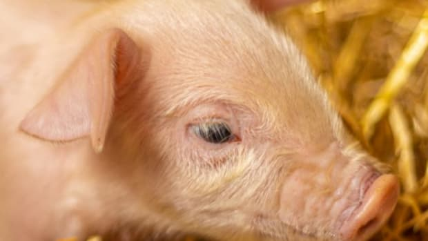 MNZoo_FarmBabies_Piglet