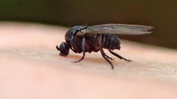 black-fly