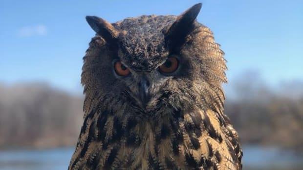 minnesota zoo gladys owl 2 CROP