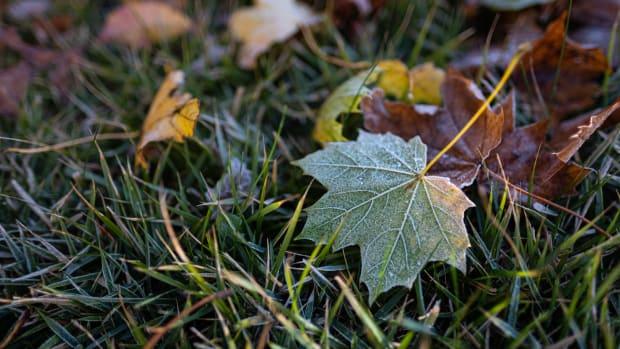 unsplas - maple leaf frost fall lawn
