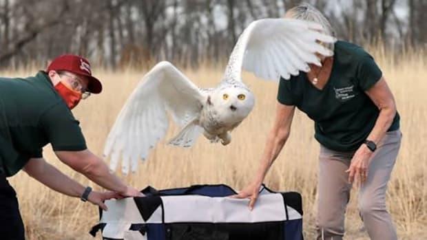 Snowy owl rescue
