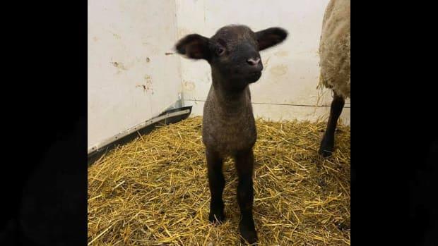 stolen lamb