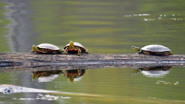 Three painted turtles sunning on a log.