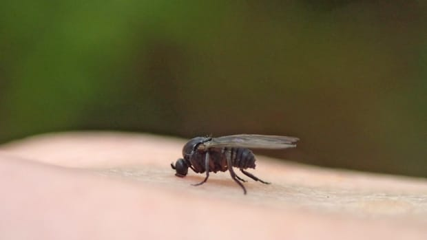 Flickr - SIMULIIDAE black fly gnat - D. Sikes