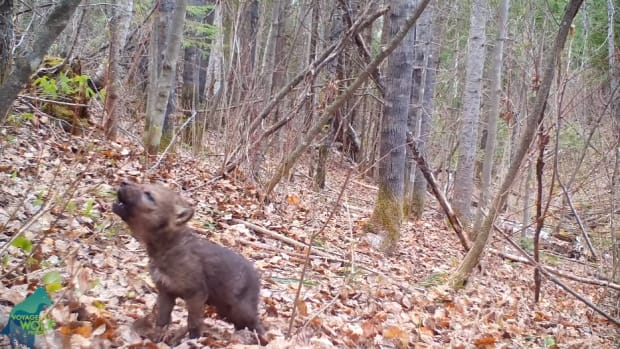 wolf pup howl