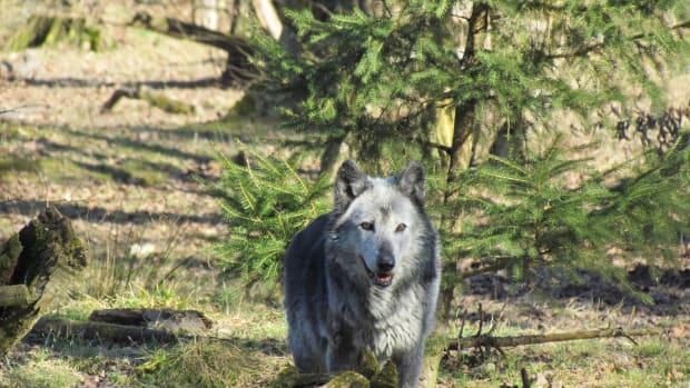Pexels - gray wolf