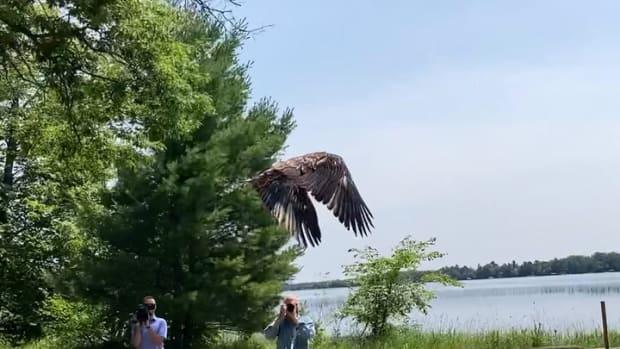 Video of CO Gorecki releasing eagle