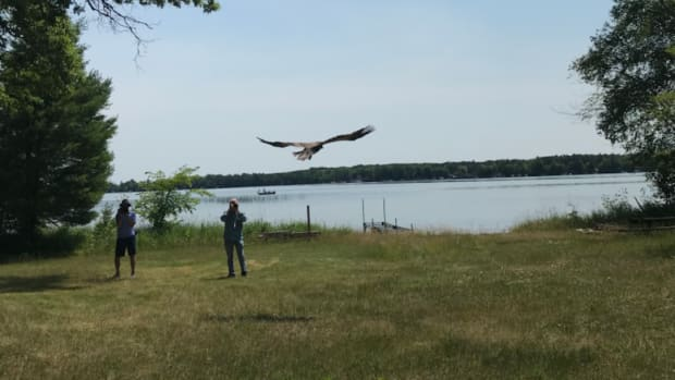 Eagle being released into wild