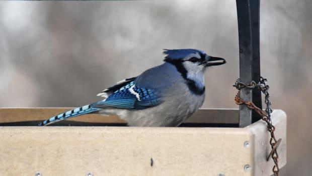 Flickr - Blue Jay healthy feeder - USFWS Midwest Region