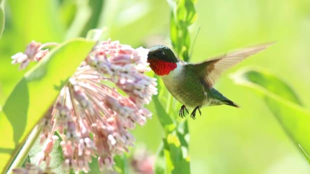 Flickr - Ruby throated hummingbird common mlikweed - USFWS Midwest Region