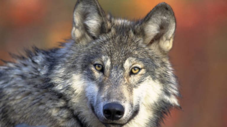 6 Wisconsin tribes sue to end upcoming wolf hunt