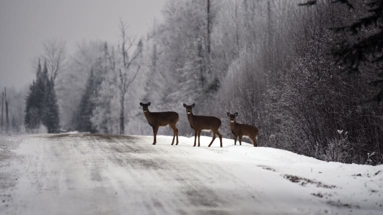 CWD-positive farm in Wisconsin had shipped deer to 2 Minnesota farms, DNR says