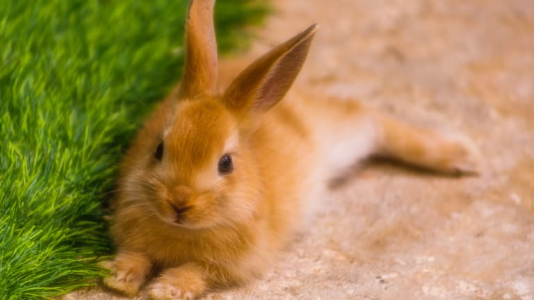 Highly contagious rabbit disease detected for first time in Minnesota