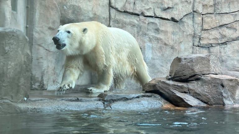 Young polar bear joining the celebration at Como Zoo