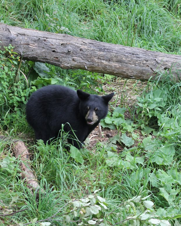 flickr-black-bear-usfws-midwest