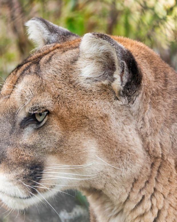 cougar, puma, lynx