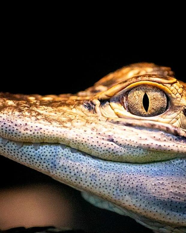 Baby alligator.