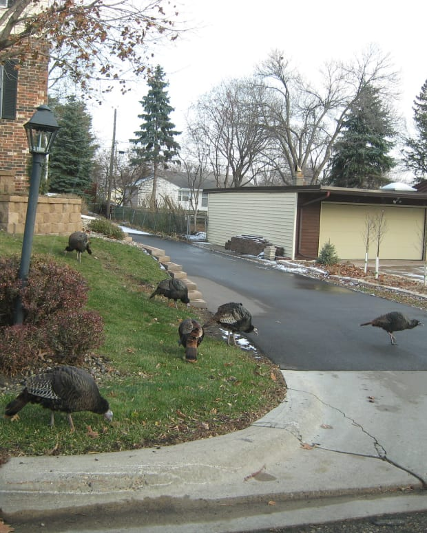 turkeys, St. Paul, Thanksgiving