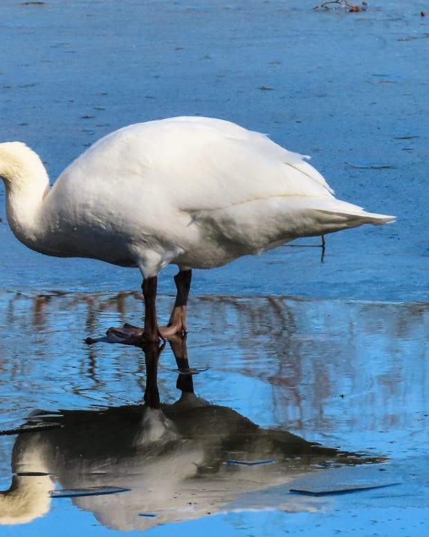 Swan on ice
