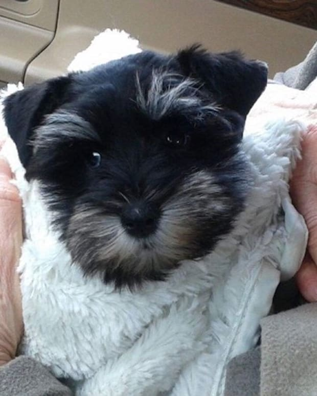 Zoey, a puppy stolen during a Minnetonka burglary.
