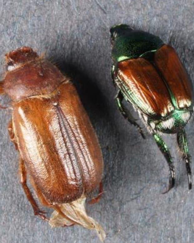 European chafer beetle