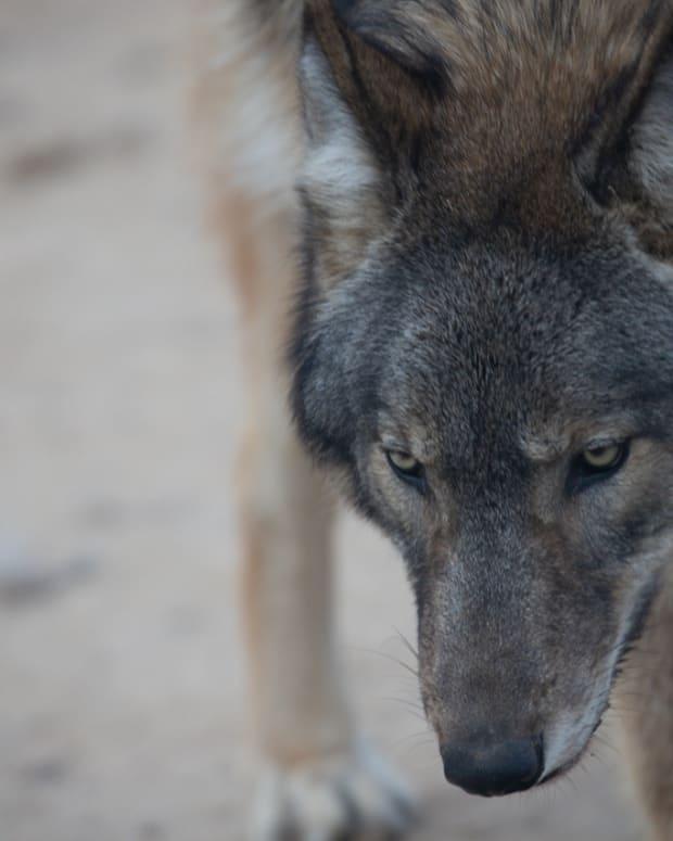 como zoo wolf
