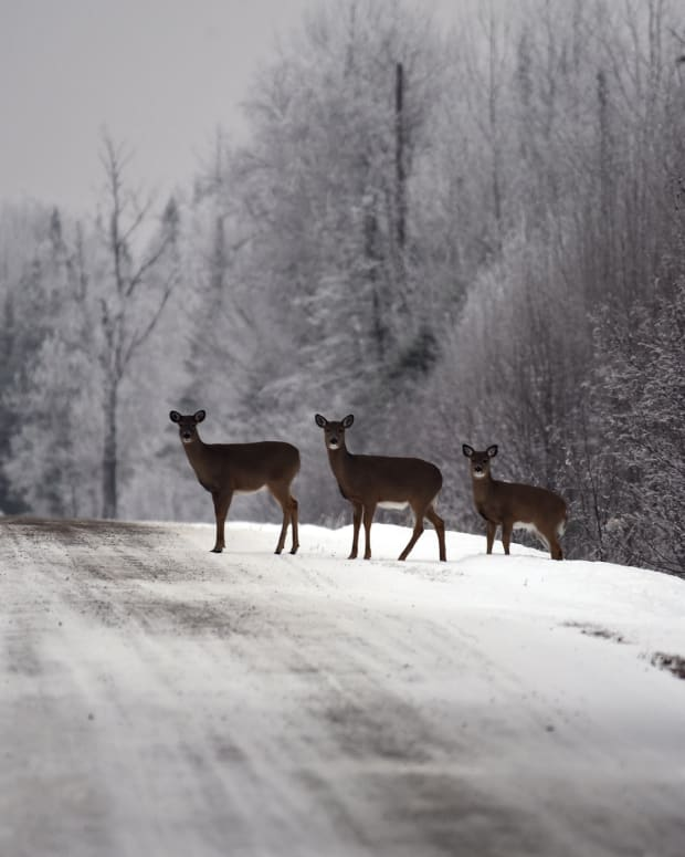 FLickr - USFWS Midwest - white-tailed deer