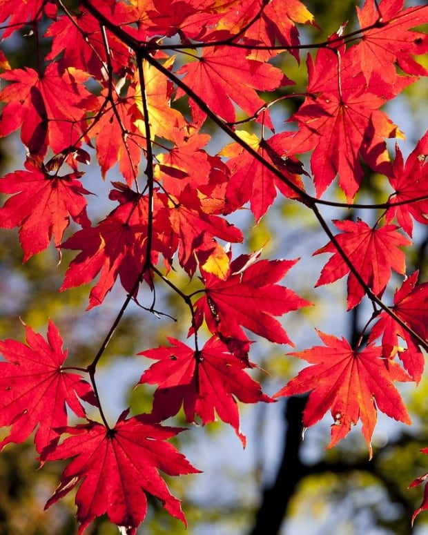 Pixabay red fall leaves