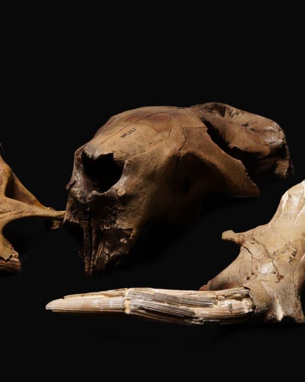 Giant Beaver fossil
