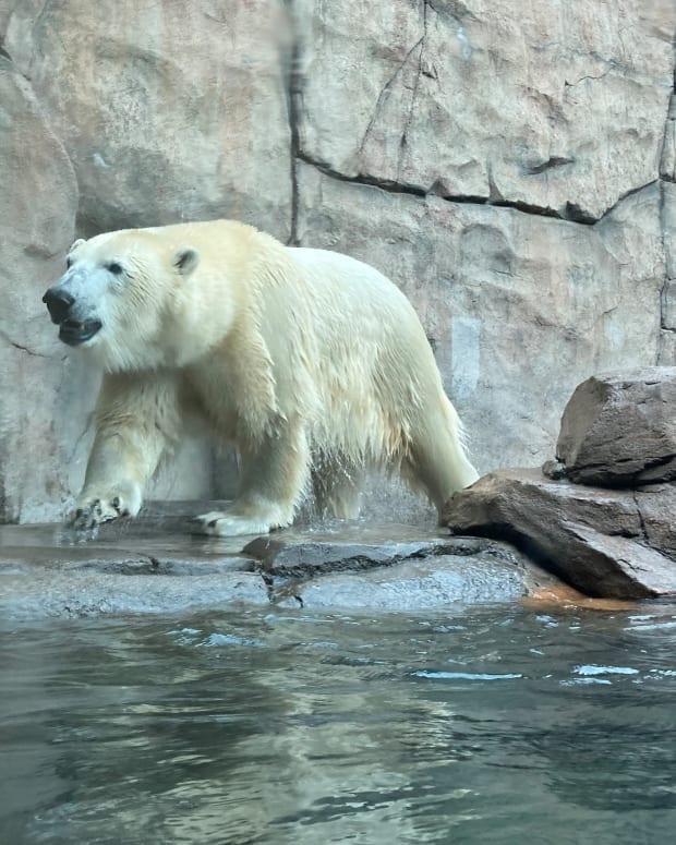 polar bear como zoo