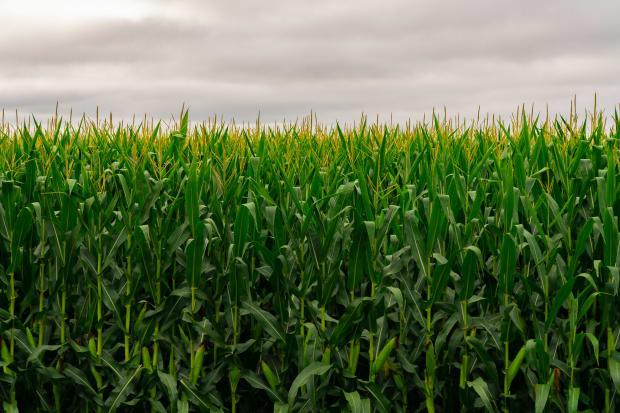 Man found dead in south-central Minnesota cornfield