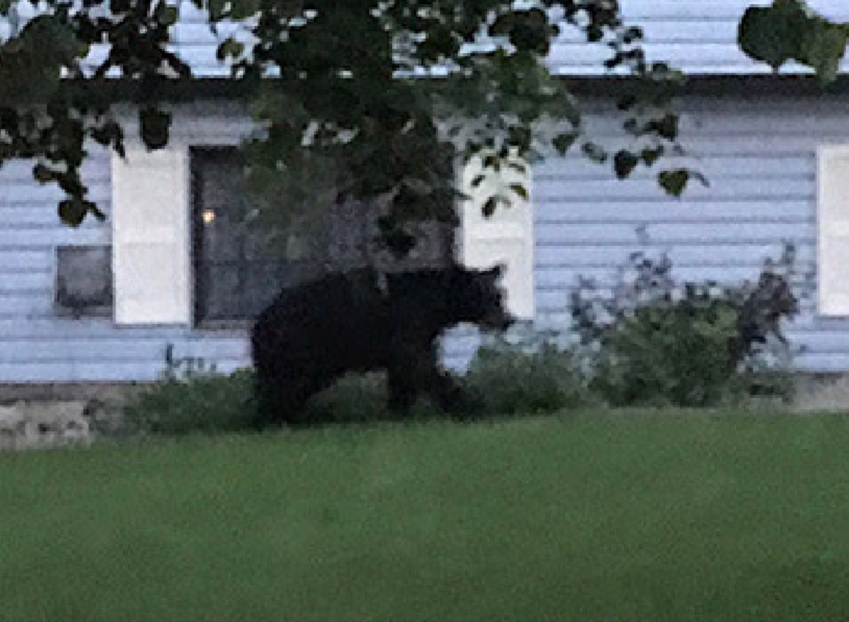 black bear in Burnsville