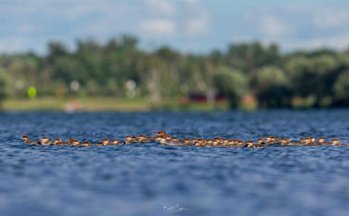 Ducklings 2 Brent Cizek
