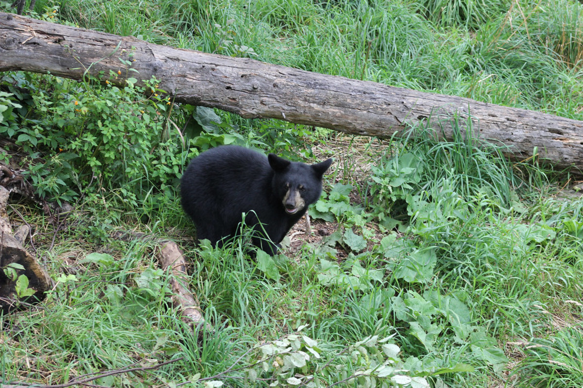 An example of a black bear.