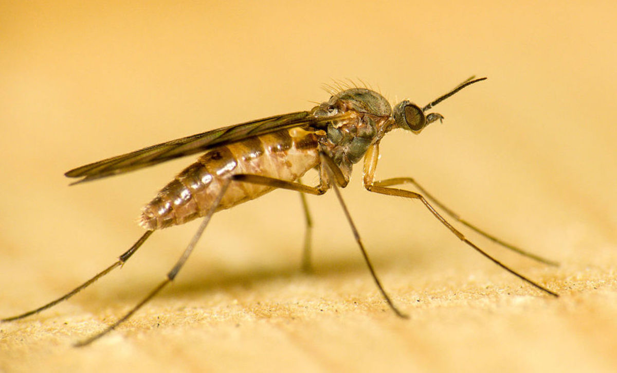 Picture of a wood gnat, because we couldn't find a picture of a buffalo gnat...