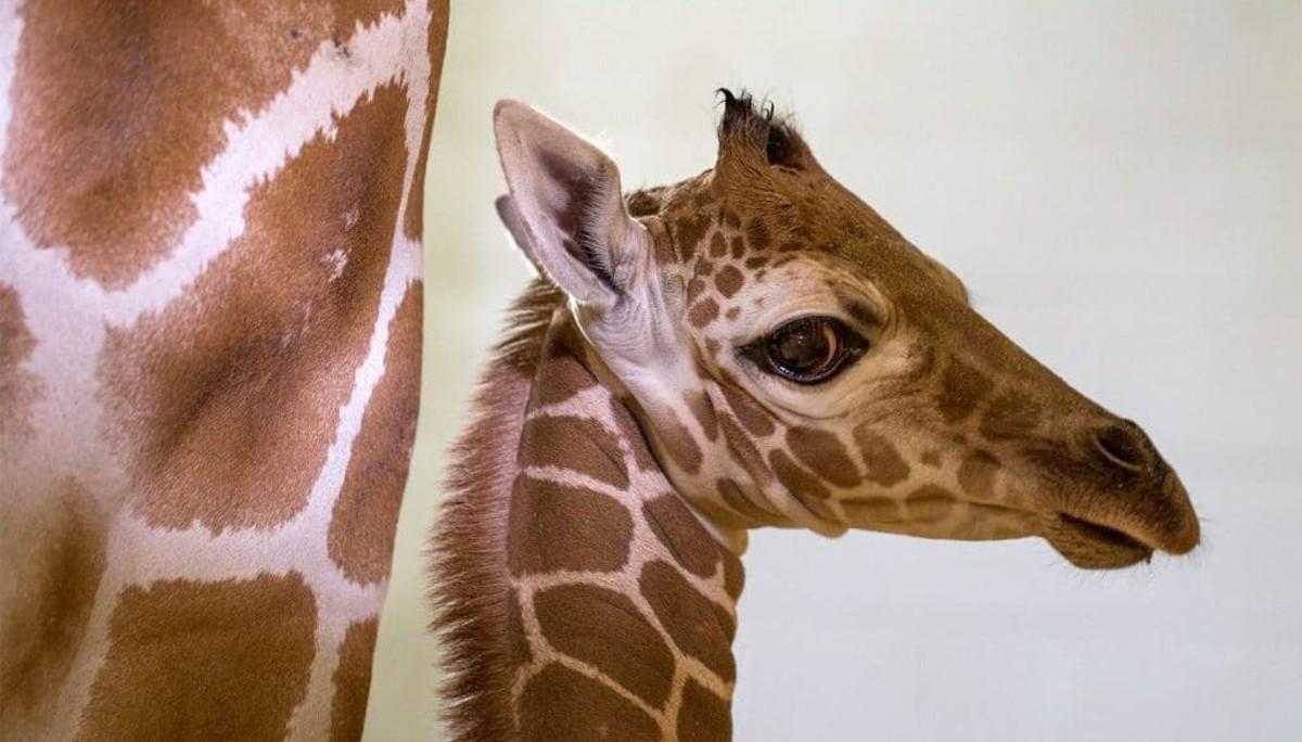 Baby giraffe at Como Park Zoo.
