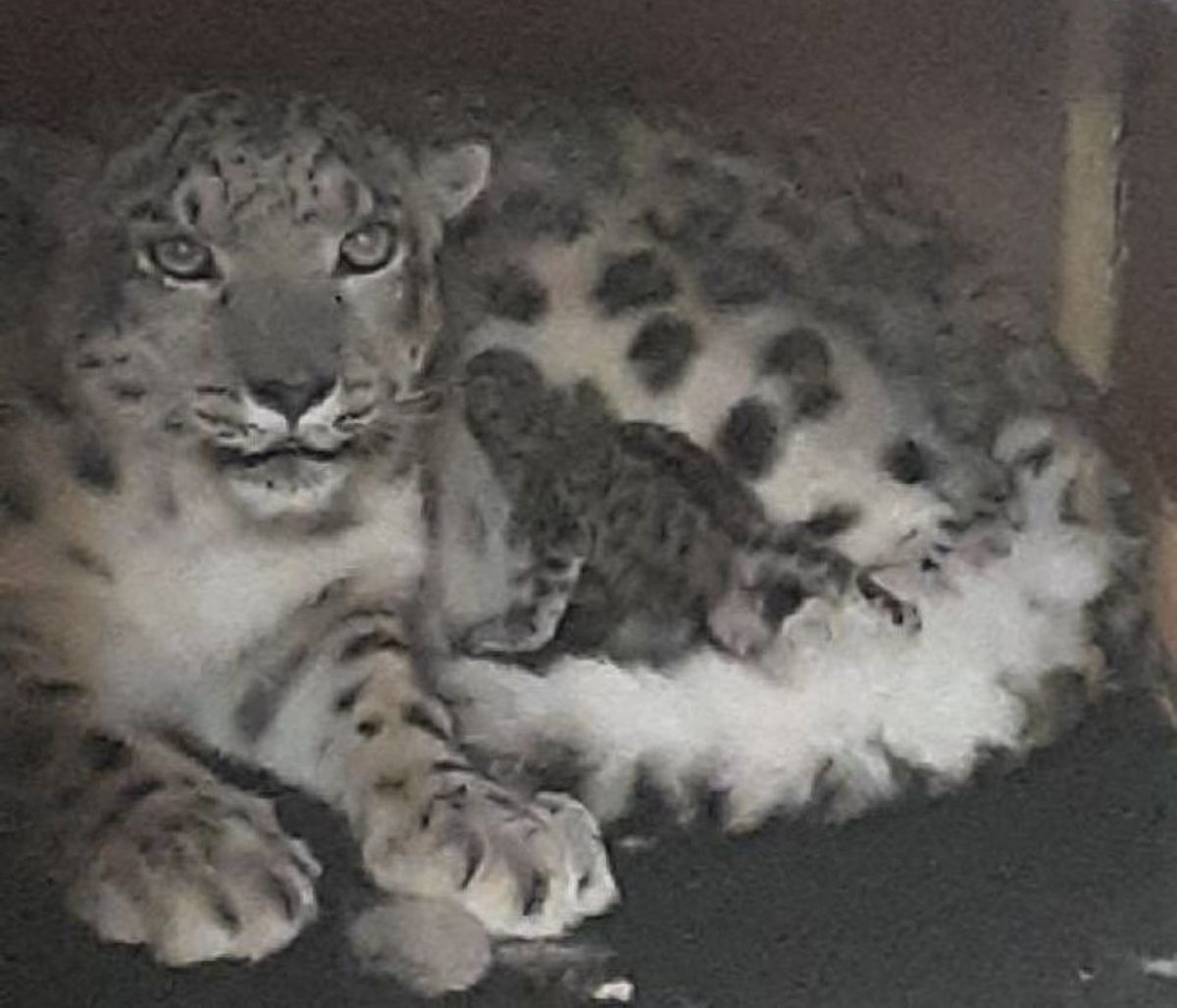 como-zoo-snow-leopard-cub-may-2-2019-RESIZE