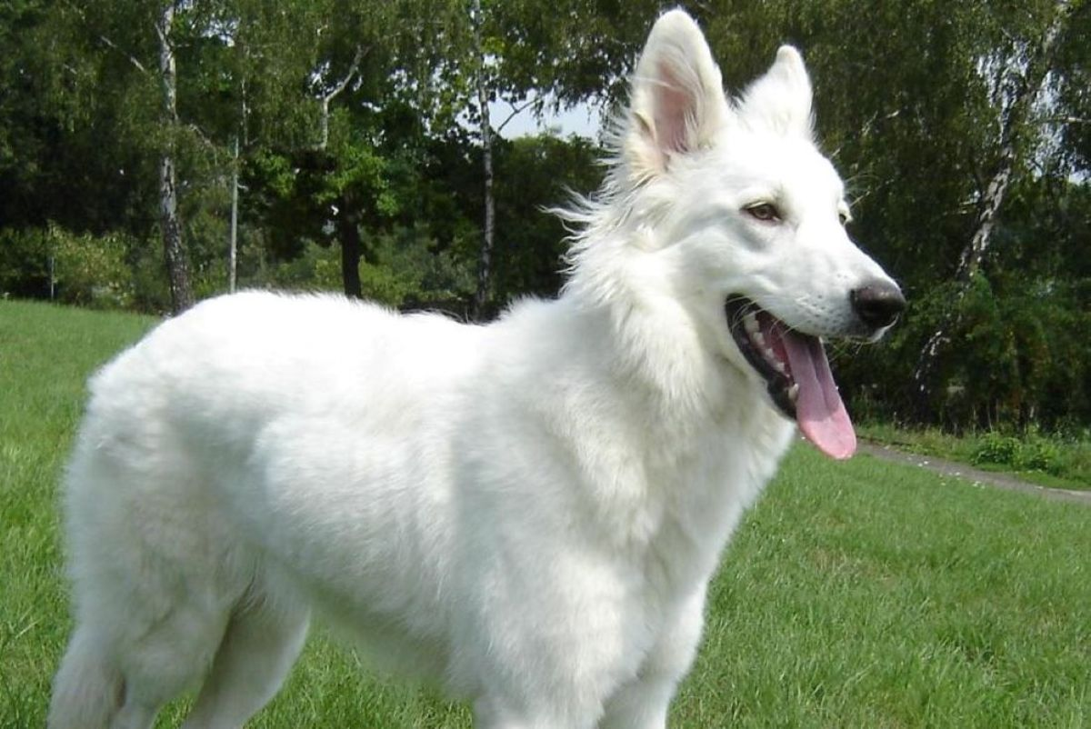 A stock photo of a white shepherd dog.