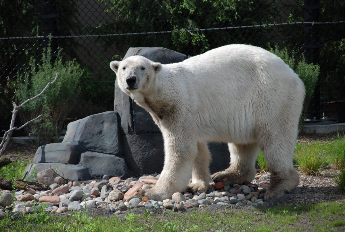 Buzz the polar bear.