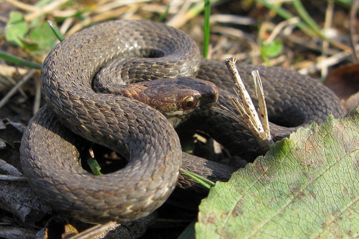 1024px-Redbelly_Snake_-_Storeria_occipitomaculata_occipitomaculata