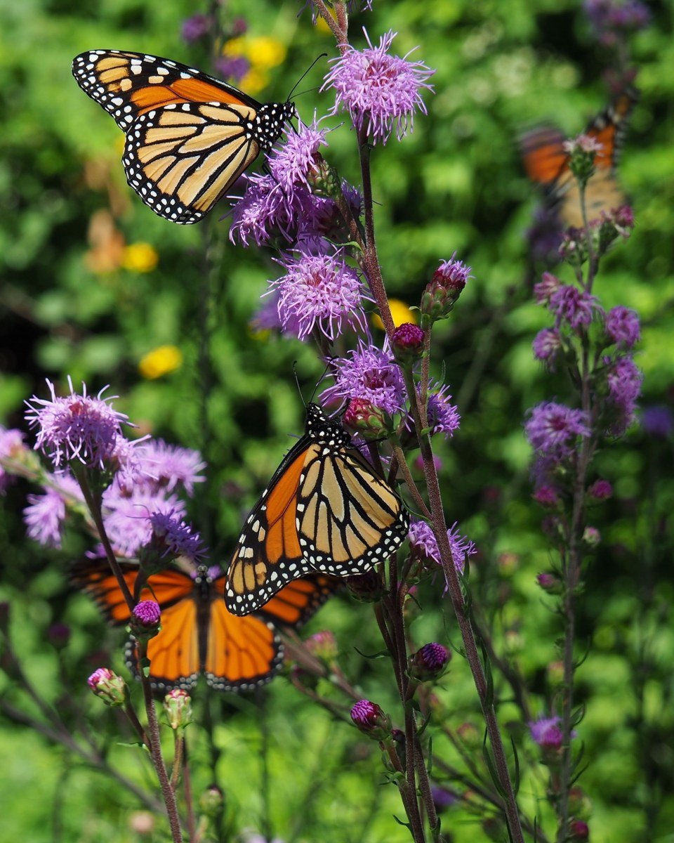 "Monarchs feasting on pollen from Meadow Blazing Stars (Liatris ligulistylis), a ""monarch magnet."""